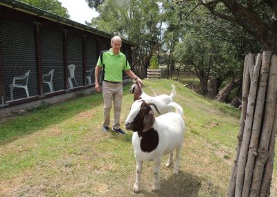 The goats outside the cattery